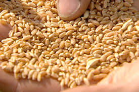 New delivery of CIMMYT and ICARDA material