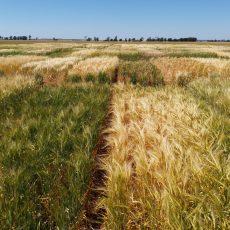 Barley Yield Trials 2019