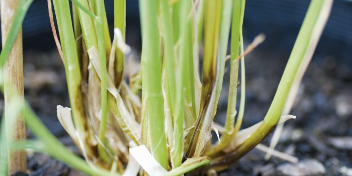 Crown Rot resistant Durum lines