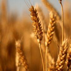 Bread and Durum wheat 2018 Australian Data