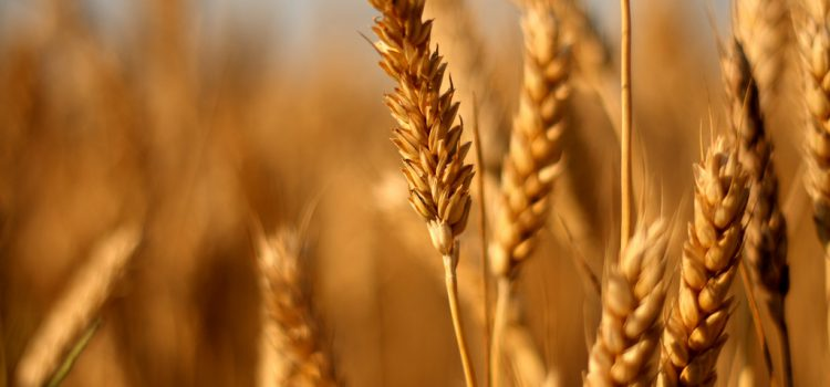 Bread and Durum wheat 2018 Australian Data