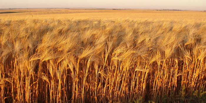 Quality data for Bread wheat lines in 2016 CAIGE yield trials