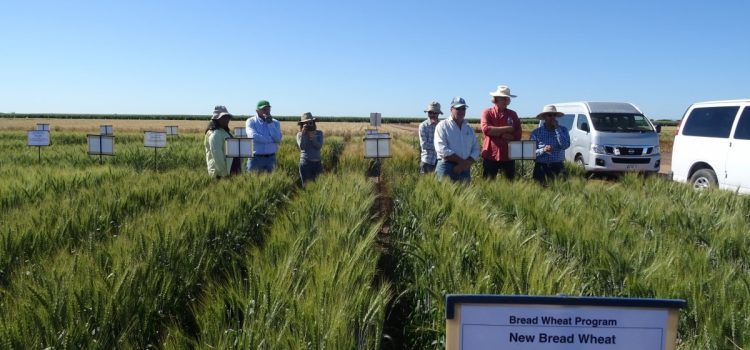 Breeder selections from CIMMYT visit
